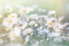 Gänseblümchen (Frühlingsgänseblümchen) in einer Wiese Stockfotografie