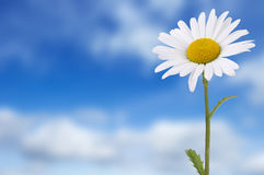 Gänseblümchen gegen blauen Himmel Stockfotografie
