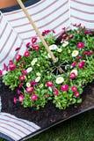 Gänseblümchen gepflanzt im Regenschirm Stockfotografie