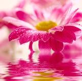 Gänseblümchen-Gerbera reflektiert im Wasser Lizenzfreies Stockbild