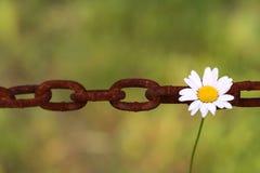 Gänseblümchen hängt am Kettenlink Lizenzfreies Stockfoto