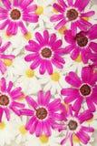 Gänseblümchen-Hintergrund Stockfotos