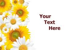 Gänseblümchen-Hintergrund, Sommer oder Frühling saisonal lizenzfreie stockbilder