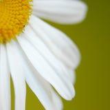 Gänseblümchen II Stockbilder
