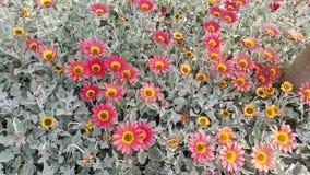 Gänseblümchen im Blumenbeet Stockfotografie