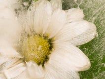 Gänseblümchen im Eis Stockbilder