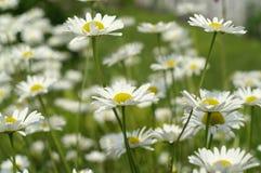 Gänseblümchen im Garten Stockfotos