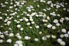 Gänseblümchen im Gartenrasen lizenzfreie stockbilder