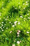 Gänseblümchen im Gras lizenzfreies stockbild
