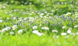 Gänseblümchen im Gras Stockbild