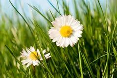 Gänseblümchen im Gras Stockfotografie