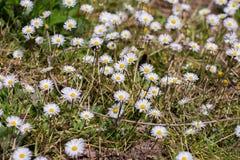 Gänseblümchen im Gras Lizenzfreie Stockbilder