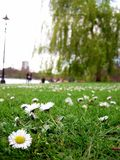 Gänseblümchen im Park Stockbild