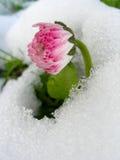 Gänseblümchen im Schnee Lizenzfreies Stockbild