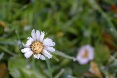 Gänseblümchen im Schnee Lizenzfreies Stockfoto