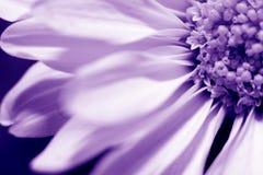 Gänseblümchen im Veilchen Stockbilder