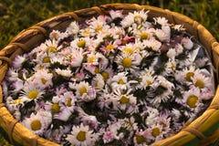 Gänseblümchen im Weidenkorb Stockfotografie