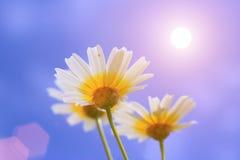 Gänseblümchen, Kamille Stockfotos