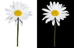 Gänseblümchen lokalisiert auf weißem und schwarzem Hintergrund Stockfotos