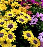 Gänseblümchen, mehrfarbiges, Purpurrotes, Gelbes und Orange stockfoto