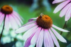 Gänseblümchen mit Biene Lizenzfreies Stockfoto