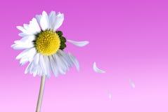 Gänseblümchen mit den fallenden Blumenblättern Stockfotos