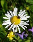 Gänseblümchen mit Fliege Lizenzfreies Stockbild