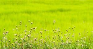 Gänseblümchen mit grünem Feld Stockfoto