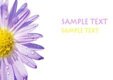 Gänseblümchen mit Tau Lizenzfreies Stockfoto
