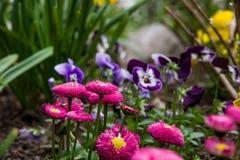 Gänseblümchen mit Violatrikolore im Hintergrund Stockfotografie