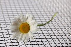 Gänseblümchen mit Wasser fällt auf eine Matte von Metalldraht meshLeucanthemum vulgare Stockfoto
