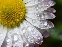 Gänseblümchen mit Wassertropfen Stockbilder