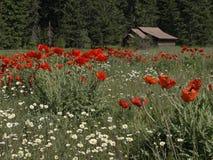 Gänseblümchen, Mohnblumen und eine Kabine Lizenzfreie Stockbilder