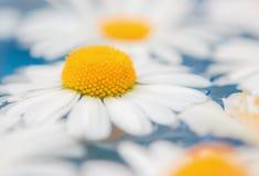 Gänseblümchen oder Chrysanthemennahaufnahme Stockbilder