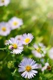 Gänseblümchen-oder Kamillen-Blumen auf grünem Gras Stockfotos
