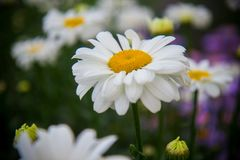 Gänseblümchen Romance im Garten lizenzfreies stockfoto