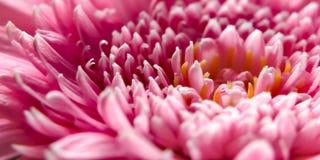 Gänseblümchen-rosafarbene Blume - Makro stockbilder
