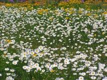 Gänseblümchen u. andere Wildflowers Stockbilder