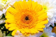 Gänseblümchen- und Chrysanthemenblumen stockfoto