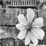 Gänseblümchen und die Felsen Lizenzfreies Stockfoto