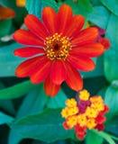 Gänseblümchen und farbige Blumen Stockbild