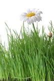 Gänseblümchen und Gras stockfotos