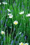 Gänseblümchen und Lavendel lizenzfreie stockfotos