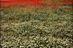 Gänseblümchen und Mohnblumen Lizenzfreies Stockfoto