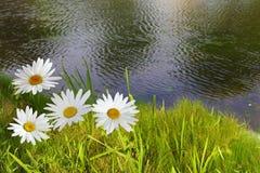 Gänseblümchen und Teich Lizenzfreies Stockfoto