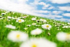 Gänseblümchen unter dem Himmel Lizenzfreies Stockbild