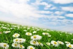 Gänseblümchen unter dem Himmel   Lizenzfreie Stockfotografie