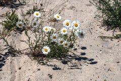 Gänseblümchen wachsen im Sand Stockbilder