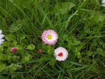 Gänseblümchen zwischen dem Gras Stockbild