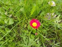 Gänseblümchen zwischen Gras Stockbild